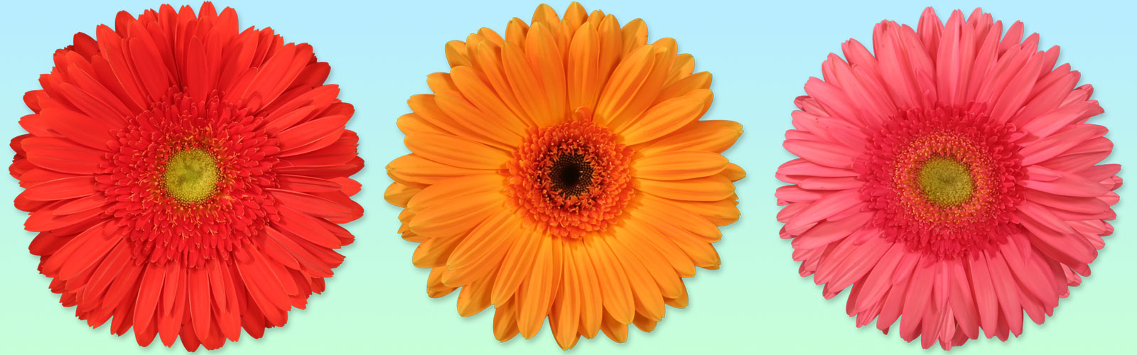 Gerbera Flower Plant Supplier in India